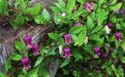 Клематис тунгусский выращивание из семян – Клематис тунгусский выращивание из семян. Клематис тангутский выращивание из семян и уход за саженцами